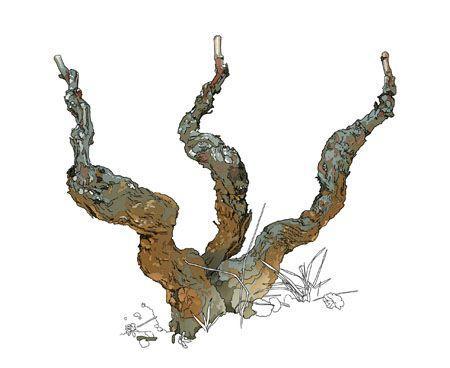 Taille de la vigne vouvray - Comment tailler une treille de raisin ...
